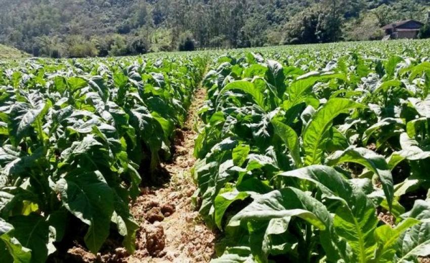 Fazenda adequa uso de Nota Fiscal de Produtor Rural ao setor do fumo
