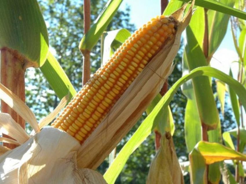Estudo da Epagri com UFSM sobre produtividade do milho insere SC em projeto mundial de segurança alimentar