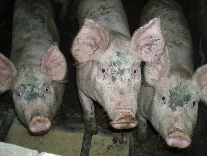Santa Catarina reforça as ações de prevenção contra a peste suína africana