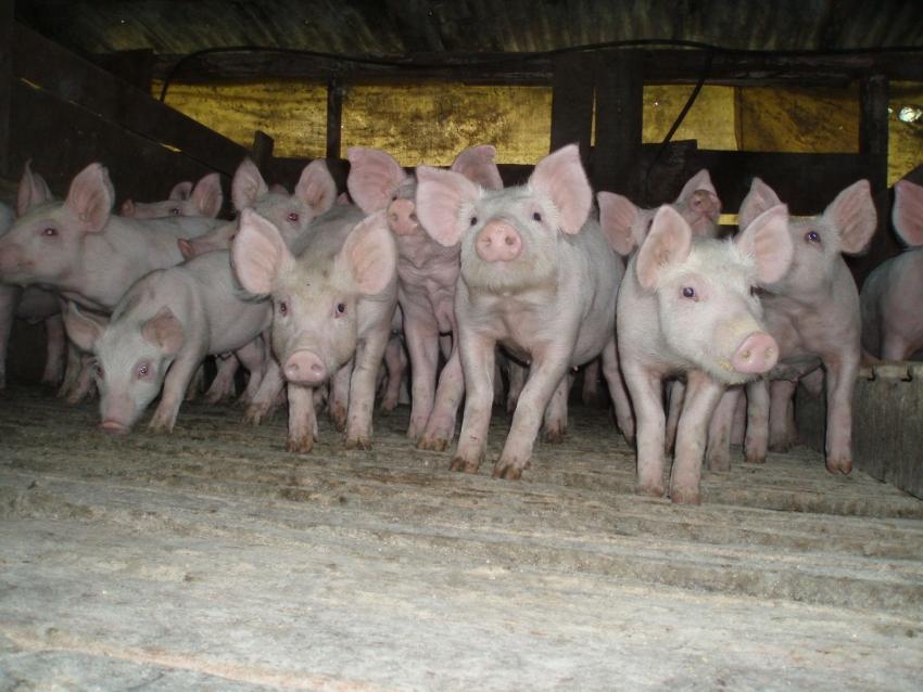 Santa Catarina registra alta no faturamento com as exportações de carne suína em abril