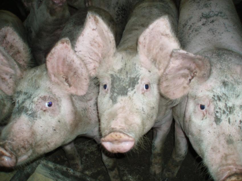 Santa Catarina bate novo recorde com exportações de carne suína em março