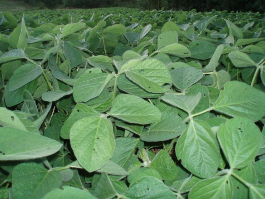 Produção de soja cresce 43,5% em oito anos em SC