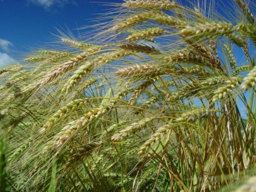 Trigo em alta: Boletim Agropecuário de agosto traz estimativa de aumento na safra